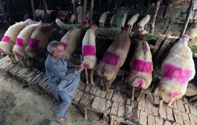 Sheep are on sale at a market ahead of the Eid al-Adha festival in Peshawar, Pakistan, 12 September 2016. Eid al-Adha is the holiest of the two Muslims holidays celebrated each year, it marks the yearly Muslim pilgrimage (Hajj) to visit Mecca, the holiest place in Islam. Muslims slaughter a sacrificial animal and split the meat into three parts, one for the family, one for friends and relatives, and one for the poor and needy. (Photo by Bilawal Arbab/EPA)