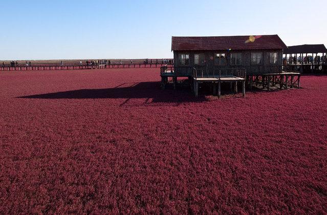 Panjin red beach. (Photo by Douglas Du)
