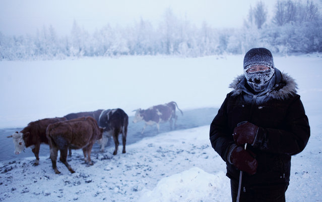 """A journey to Oymyakon, considered by many to be the coldest permanently inhabited settlement in the world. The village was originally a stopover for reindeer herders who would water their flocks from a thermal spring at the location. Known as the """"Pole of Cold"""" the town of 500 once recorded a temperature of –71.2ºC. Average temperatures in January are –50ºC. Here: Farmer Nikolai Petrovich waters his cows in the patch of thermal water at the edge of the town. (Photo by Amos Chapple/Courtesy Images/RFE/RL)"""
