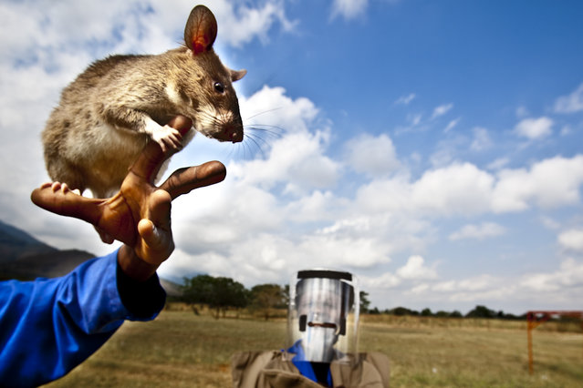 APOPO's Training Center, situated on Sokoine Univeristy of Agriculture (SUA) in Tanzania, was established in 2000 to accommodate training and testing of mine detection rats in near-to-real conditions. Rats learn to look for mines
