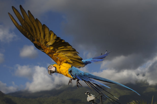 A macaw flies down as it looks to land on a terrace for food, in Caracas, Venezuela. Caracas' signature bird, the blue-and-yellow macaw, is one of four such species that inhabit the valley. Legend has it that it was introduced in the 1970s by Italian immigrant Vittorio Poggi, who says he nurtured a lost macaw and trained it to fly with his motorcycle as he cruised around his neighborhood. (Photo by Ariana Cubillos/AP Photo)