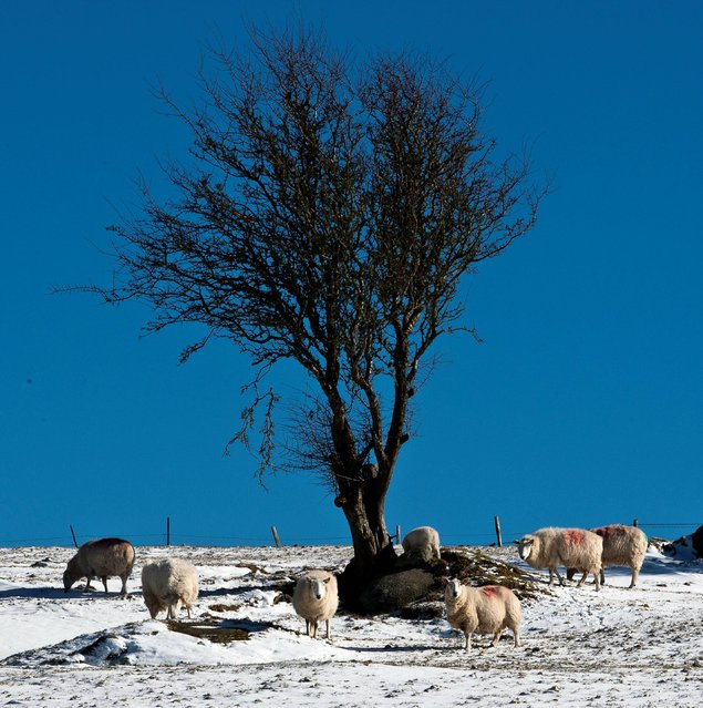 Sheep look for grazing in the snow covered fields, Ballyknockan, Co Wicklow, UK, on March 12, 2013. (Photo by Garry O'Neill)
