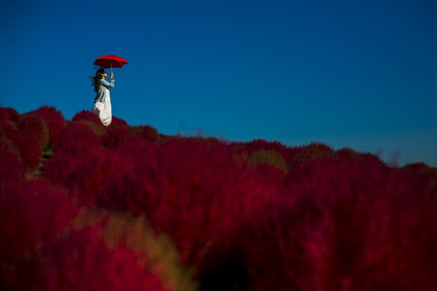 A woman holds a parasol as she stands in a field of fireweed, or Kochia scoparia, on a sunny autumn day at the Hitachi Seaside Park in Hitachi, north of Tokyo, October 26, 2015. Fireweed is a grass bush that takes on a bright red colour in autumn. (Photo by Thomas Peter/Reuters)