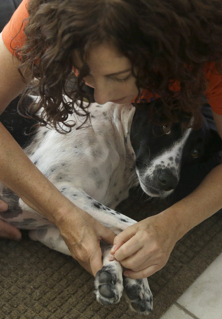 In this November 6, 2014 photo, Shelah Barr of Happy Hounds Massage gives a massage to Dewie, 2, at the home of Laurie Ubben in San Francisco. (Photo by Jeff Chiu/AP Photo)