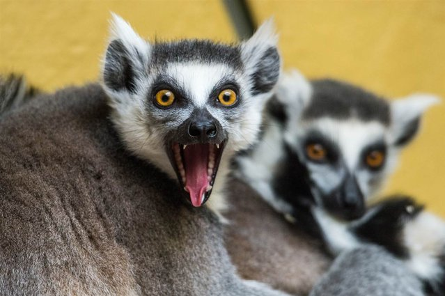 A ring-tailed lemur opens its mouth at the Tierpark Zoo in Straubing, Germany, on March 25, 2013. (Photo by Armin Weigel/AFP Photo)