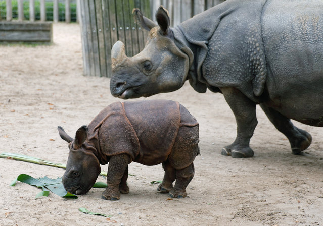Baby rhinoceros Savita enjoys a leaf as her mother Sani looks on, November 29, 2014 at the Wilhelma zoo in Stuttgart, southern Germany. Savita was born at the zoo two months ago. (Photo by Michael Latz/AFP Photo/DPA)