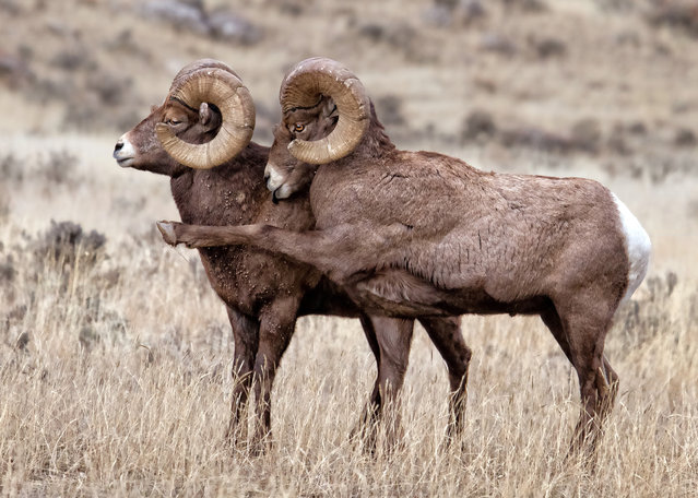 Bighorn Rams exhibiting attitudes during the rut, Gardiner, Montana, December, 2014. (Photo by Patricia Bauchman/Barcroft Images/Comedy Wildlife Photography Awards 2016)