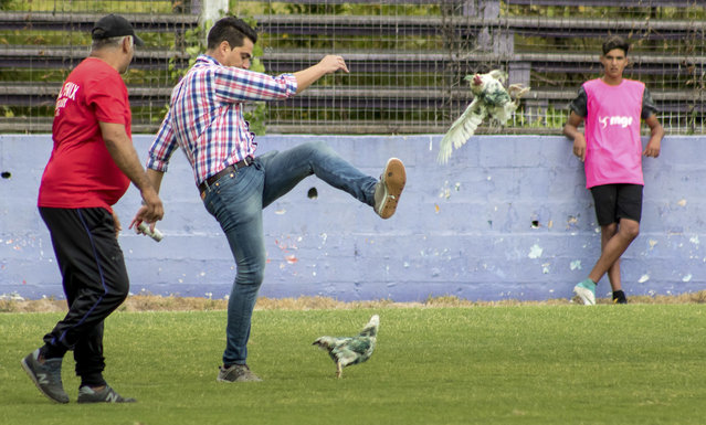 In this Sunday, March 11, 2018 photo, Fenix first-division club director Gaston Alegari kicks a hen after supporters from his club threw two chickens painted in white and green, the colors of the opponents Racing, on to the field during their league soccer match, in Montevideo, Uruguay. Uruguay's soccer association decided on Tuesday that Fenix will have to play one match away from their home stadium because of the incident. The incident has also made Alegari a target of criticism from animal rights groups and fans after he violently kicked one of the chickens off the pitch. (Photo by Mauricio Castillo/AP Photo)