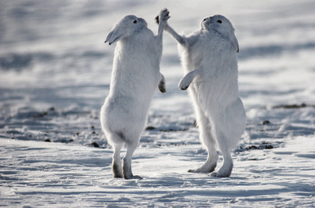 """Arctic hares mainly feed on woody plants, but they will also eat other things, from moss to seaweed. These hares are in a territorial dispute on the tundra of Canada"". (Photo by Art Wolfe/Art Wolfe Stock)"