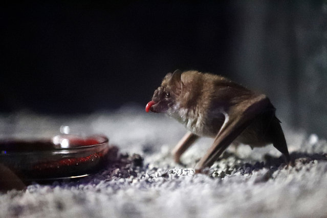 In this Tuesday, March 20, 2018 photo, a Vampire Bat drinks bovine blood in the Criaturas de la Noche (Creatures of the Night) Bat House, the Audubon Zoo's new night house in New Orleans. The various species are all from Central and South America, and the building's interior simulates an abandoned warehouse set up to protect Mayan artifacts during a dig. (Photo by Gerald Herbert/AP Photo)
