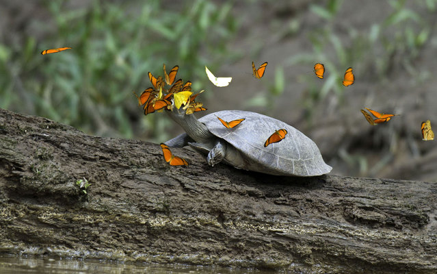Butterflies fight for space to drink the tears of a turtle species known as tracajá in the Peruvian Amazon. (Photo by Caters News/The Grosby Group)