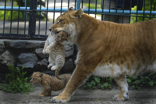 In this Tuesday, June 18, 2013 photo Zita, a liger, half-lioness, half-tiger, carries her one month old liliger cub in the Novosibirsk Zoo. The cub's father is a lion, Sam. (Photo by Ilnar Salakhiev/AP Photo)