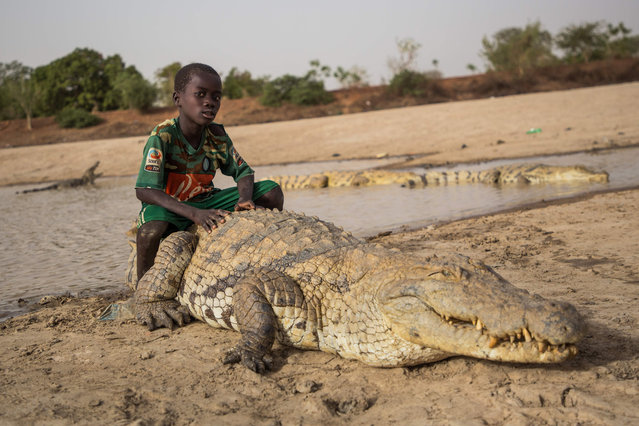 "A boy sits on the back of a crocodile on May 19, 2018 at a pond in Bazoule in Burkina Faso, a village which happily shares its local pond with ""sacred"" crocodiles. Crocodiles may be one of the deadliest hunters in the animal kingdom, but in a small village in Burkina Faso it is not unusual to see someone sitting atop one of the fearsome reptiles. According to local legend, the startling relationship with the predators dates back to at least the 15 th century. The village was in the grip of an agonising drought until the crocodiles led women to a hidden pond where the population could slake their thirst. (Photo by Olympia de Maismont/AFP Photo)"