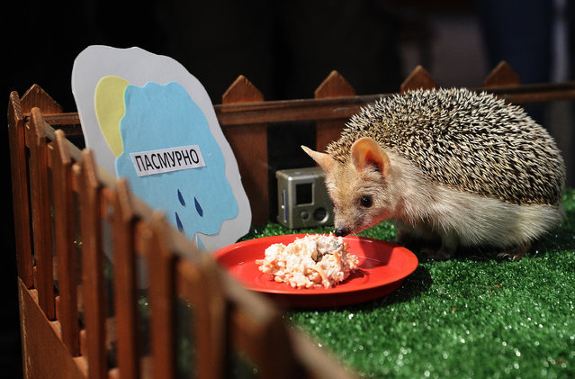 A hedgehog named Pugovka (Button) seen by a Cloudy sign in Yekaterinburg's Zoo, Russia, on February 2, 2015. Employees of the zoo predict the weather for the upcoming spring based on the hedgehog's behaviour. (Photo by Donat Sorokin/TASS/ZUMA Wire)