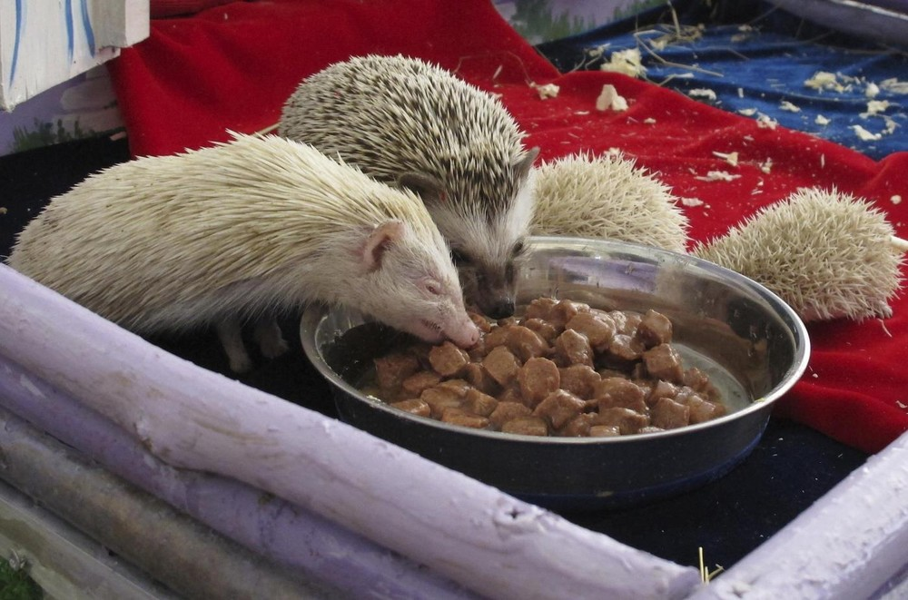 Rare Albino Hedgehogs Babies in a Private Zoo in Moscow