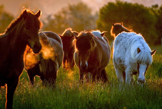 Icelandic horses walk in their paddock at a stud farm in Wehrheim near Frankfurt, Germany, as the sun rises Tuesday, June 1, 2021. (Photo by Michael Probst/AP Photo)