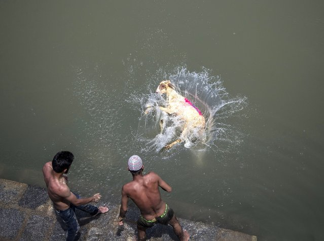 Kashmiri shepherds push a sheep into a river to clean it before selling ahead of upcoming Muslim festival Eid al-Adha in Srinagar, Indian controlled Kashmir, Sunday, July 11, 2021. (Photo by Mukhtar Khan/AP Photo)