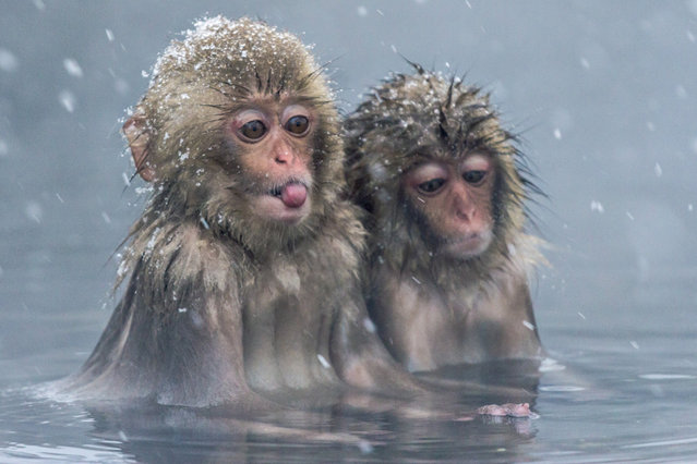 These young monkeys look a little sad as they sit close together in the water and one sticks out his tongue to catch the falling snowflakes. The wild Japanese macaques sit in the hot water, which is around 40 degrees, as a way to keep warm in the minus five degree Celsius weather in igokundani Monkey Park in Yamanouchi, Nagano Prefecture, Japan. During the winter, the macaques spend their days warming in the hot springs before returning to the surrounding forest at night. (Photo by Julia Wimmerlin/Solent News)