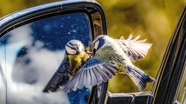 A blue tit takes umbrage at a wing mirror at Suffolk Wildlife Trust's Arger Fen & Spouse's Vale reserve in United Kingdom on April 16, 2021. (Photo by Angela Lord/Triangle News)