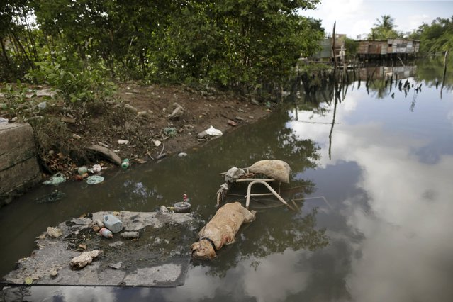 "Trash and the carcass of a dog float in front of houses at a lake dwelling also known as palafitte  or ""Palafito"" in Recife, Brazil, March 1, 2016. (Photo by Ueslei Marcelino/Reuters)"