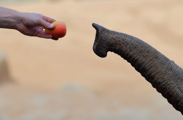 A zoo keeper hand feeds fruit to an Asian elephant at Melbourne Zoo in Melbourne, Australia, 03 March 2016. (Photo by Tracey Nearmy/EPA)
