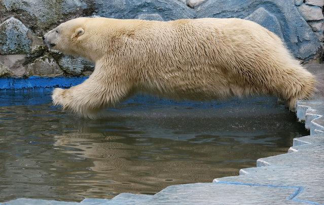 Felix, a nine-year-old polar bear, jumps into a pool inside its enclosure at the Royev Ruchey Zoo in Krasnoyarsk, Siberia, Russia, March 29, 2016. (Photo by Ilya Naymushin/Reuters)