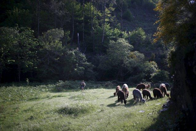 Alpacas of Lisa Vella-Gatt (not pictured) graze at her farm near Benfeita, Portugal May 11, 2015. (Photo by Rafael Marchante/Reuters)