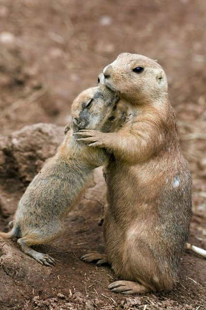 Black tailed prairie marmots. (Photo by Steve Downer/Ardea Wildlife Pets Environment/Caters News)