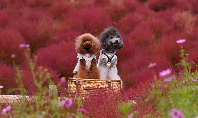 Two dogs sit in a basket in a field of Kochia (Bassia scoparia), a kind of tumbleweed, at the Hitachi Seaside Park in Hitachinaka, Japan, 21 October 2019. Over 30,000 Kochia balls are planted every year in June in the 350-hectare field. The plants then gradually turn their color from green to red between July and October. (Photo by Toru Hanai/EPA/EFE)