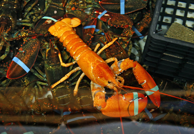 A rare bright orange lobster shares the tank with regular lobsters at the Fisherman's Catch Seafood restaurant in Raymond, Maine, Thursday, July 23, 2015. Fisherman Bill Coppersmith, of Windham, Maine, caught the crustacean on Wednesday. Robert Bayer, executive director of The Lobster Institute at the University of Maine, says the odds of catching an orange lobster are one in several million. Coppersmith caught a white lobster in 1997; a one-in-100 million catch. (Photo by obert F. Bukaty/AP Photo)