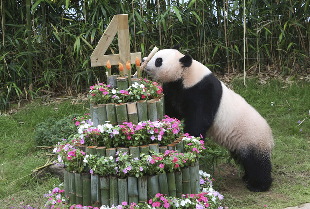 Chinese panda Ai Bao eats a bamboo sprout, leaning on a birthday cake made with bamboo sticks in a celebration for her fourth birthday on July 13, at the Everland amusement park in Yongin, South Korea, Wednesday, July 12, 2017. A pair of giant pandas arrived in South Korea on March 3, 2016, following an agenda about panda research cooperation in a meeting between Chinese President Xi Jinping and former South Korean President Park Geun-hye in 2014. (Photo by Ahn Young-joon/AP Photo)