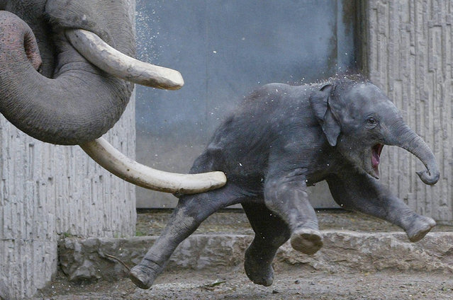 Bull elephant Maxi (L) gives his daughter Chandra (R) a playful shove with a tusk in the Zurich zoo July 15, 2002. (Photo by Andreas Meier/Reuters)
