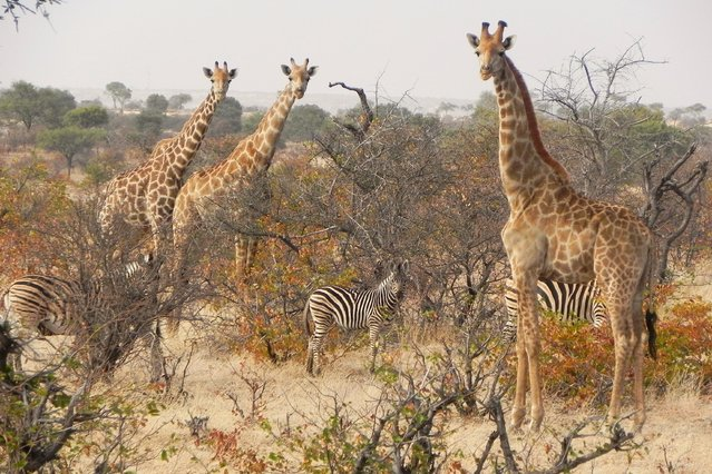 """Mashatu Game Reserve"". Fabia Mahoney, 68, of Bethesda, Md., captured giraffes and zebras at the reserve in Botswana in July 2014. (Photo by Fabia Mahoney)"