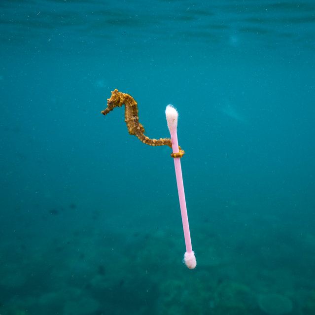 """Sewage surfer by Justin Hofman (US). This tiny estuary seahorse """"almost hopped"""" from one bit of bouncing natural debris to the next, bobbing around on a reef near Sumbawa Island, Indonesia. As a brisk surface wind picked up, the seahorse took advantage of something that offered a stable raft: a waterlogged plastic cottonbud. Finalist 2017, The Wildlife Photojournalist Award: Single Image. (Photo by  Justin Hofman/2017 Wildlife Photographer of the Year)"""