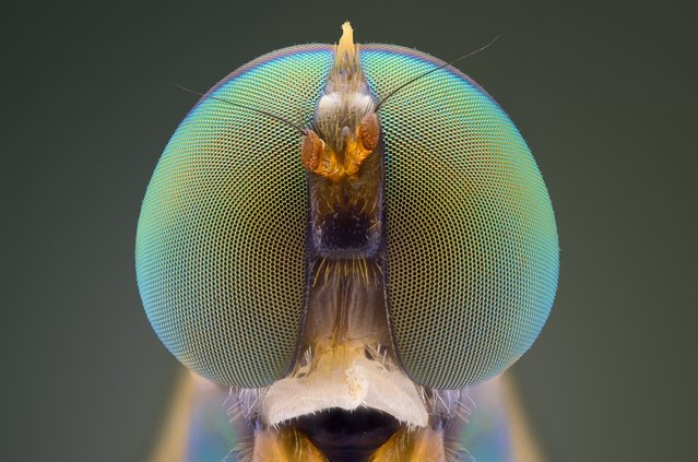 A close-up shot of a soldierfly on August 2014, in Banten, Indonesia.  Wildlife photographer takes incredible close-up images of tiny bugs. Yudy Sauw has captured close-up images of creepy crawlies – revealing their disturbing faces. The insects have an assortment bulging eyes and sharp pincers and look grotesque in the face-to-face shots. The miniature-models include a soldier fly, a red ant and a longhorn beetle. (Photo by Yudy Sauw/Barcroft Media)