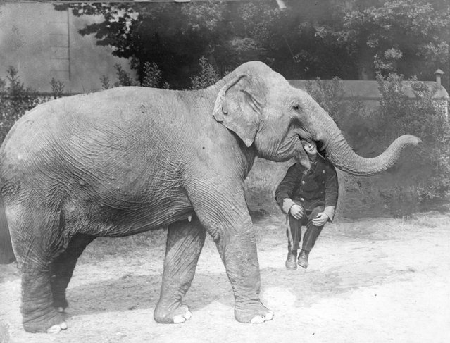 An elephant from Earl's Court Circus with a man in its mouth, 1928.
