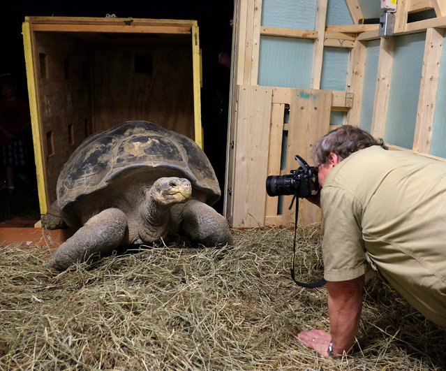 Andy Odum, Toledo Zoo assistant director of animal programs and curator of herpetology, photographs  Emerson, Galapagos tortoise, as he is delivered and unboxed Wednesday, August 27, 2014, at the Toledo Zoo in Toledo, Ohio. Emerson is a wild-born tortoise estimated at 100 years old. He is being donated by the San Diego Zoo. (Photo by Jeremy Wadsworth/AP Photo/The Blade)
