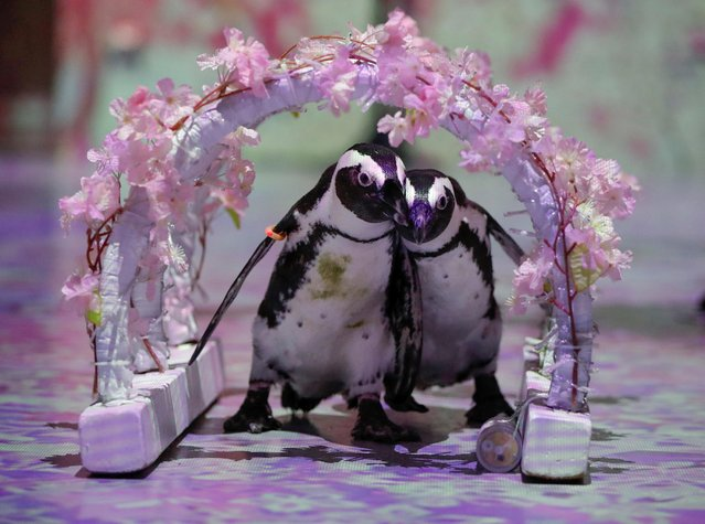 Penguins Momo and Omochi are seen while the projection mapping images is being cast during a media preview for their free online animal shows for children and families staying at home during Golden Week holidays due to the coronavirus disease (COVID-19) lockdown, at the Aqua Park Shinagawa in Tokyo, Japan on April 30, 2020. (Photo by Issei Kato/Reuters)