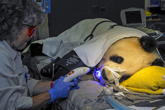 Meg Sutherland Smith, associate director of veterinary services at the San Diego Zoo, uses a light to seal a dental composite during a restorative dental procedure on giant panda Bai Yun at the San Diego Zoo Wednesday, September 10, 2014. The dental procedure was needed after keepers noticed a chip in one of Bai Yun's lower canines. (Photo by Ken Bohn/AP Photo/San Diego Zoo)