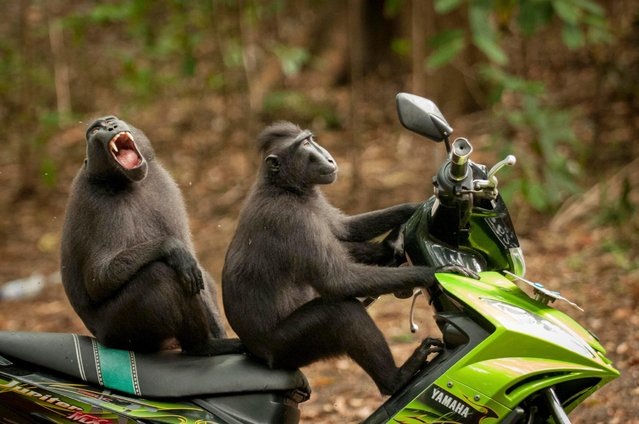 "These two monkeys broke away from their group to ""test drive"" a motorbike parked near the entrance to the reserve in Tangkoko Batuangus Nature Reserve, Indonesia. (Photo by Josef Friedhuber/Comedy Wildlife Photography Awards/Barcroft Media)"