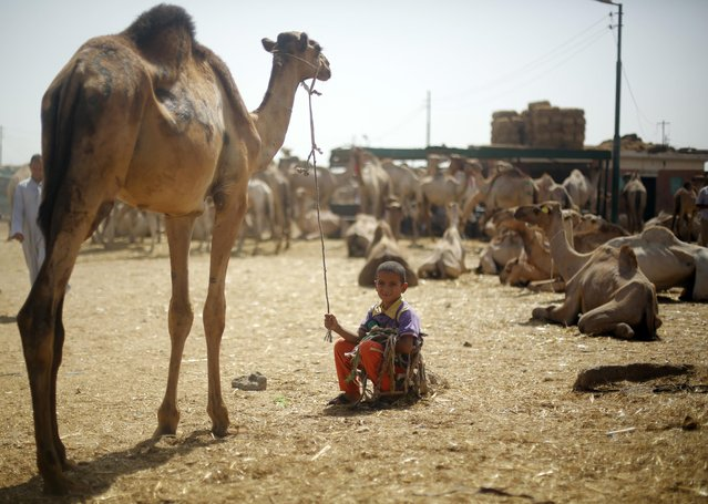 A camel trader's son poses with his father's camels at the Birqash Camel Market, ahead of Eid al-Adha or Festival of Sacrifice, on the outskirts of Cairo September 29, 2014. Birqash Camel Market, one of the biggest markets for camel meat in Africa, draws sellers from Libya, Sudan, Somalia and other regions in Egypt. (Photo by Amr Abdallah Dalsh/Reuters)