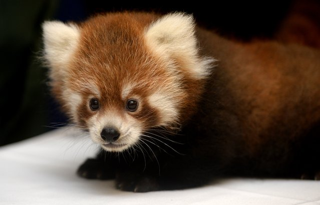 A male red panda cub is introduced during a press conference at the Rosamond Gifford Zoo in Syracuse, N.Y., Thursday, September 10, 2015. Director Ted Fox says the pair of cubs, born at the end of June, are evidence of the success of the zoo's red panda breeding program and will help ensure the survival of the endangered species. (Photo by Kevin Rivoli/The Syracuse Newspapers via AP Photo)