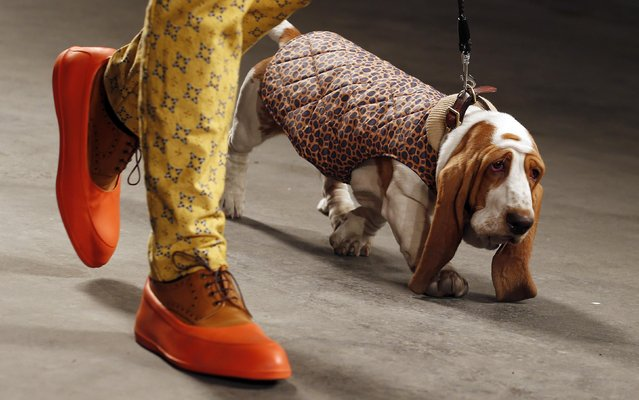 """A model and a dog present a creation from the MAN Autumn/Winter 2013 collection during """"London Collections: Men"""" in London January 7, 2013. """"London Collections: Men"""" is a three-day showcase of men's fashion scheduled a month before London Fashion week. (Photo by Suzanne Plunkett/Reuters)"""