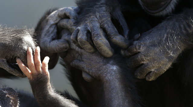 A baby chimp's hands, left, is seen touching the hands of other chimps at Chimp Haven in Keithville, La., Tuesday, February 19, 2013. One hundred and eleven chimpanzees will be coming from a south Louisiana laboratory to Chimp Haven, the national sanctuary for chimpanzees retired from federal research. (AP Photo/Gerald Herbert)
