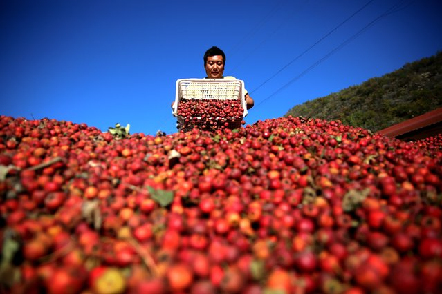 A farmer collects baskets of hawthorn fruits in Xinglong County, as harvest season begins in Hebei, China on October 13, 2015. (Photo by Wang Liqun/Xinhua via ZUMA Wire)