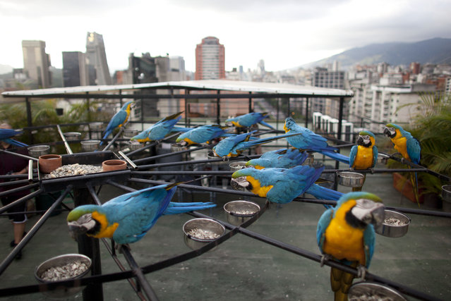 """Macaws eat perched on a circular platform with 58 feeder bowls on the roof of an apartment building in Caracas, Venezuela. City resident and bird lover, Ivo Contreras built the circular platform to attract the macaws. """"For me, it's a pleasure to see them come every day ... to share a space with them where you can recharge and find harmony"""", said Contreras, 44, who is a stylist for the Miss Venezuela beauty contest. (Photo by Ariana Cubillos/AP Photo)"""