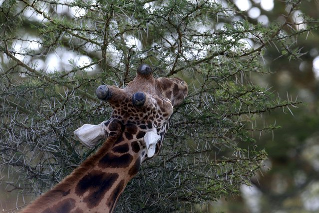 A giraffe eats leaves from a tree at Lake Nakuru National Park, Kenya, August 18, 2015. (Photo by Joe Penney/Reuters)