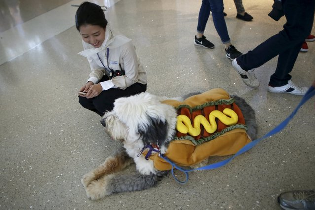 A Korean Air flight attendant looks at a therapy dog dressed in a hot dog Halloween costume, as part of a program to de-stress passengers at the international boarding gate area of LAX airport in Los Angeles, California, United States, October 27, 2015. (Photo by Lucy Nicholson/Reuters)