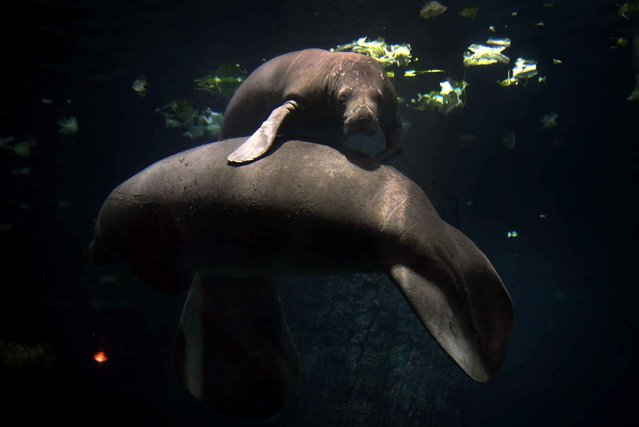 Two manatees lean against each other at the newly completed River Safari on March 25, 2013 in Singapore. (Photo by Wong Maye-e/AP Photo)