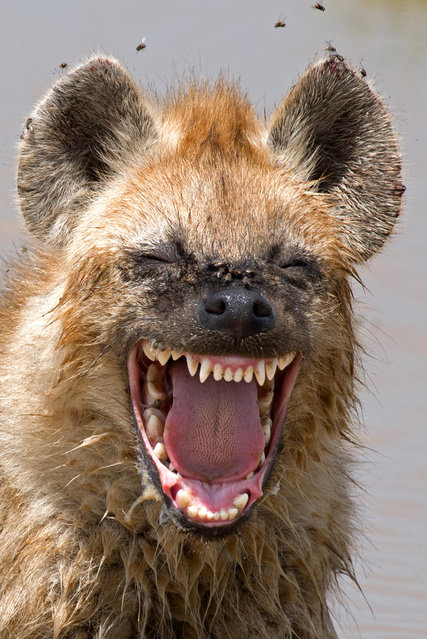 A hyena appears to find something hilarious in a shot capture by Yaron Schmid, Serengeti, Tanzania, February, 2016. (Photo by Yaron Schmid/Barcroft Images/Comedy Wildlife Photography Awards 2016)